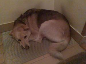 Žućo, pas iz Beograda i farsa udomljenja u Njemačku